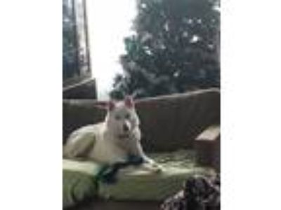 Adopt Willie a Husky / Mixed dog in Crystal Lake, IL (24407758)