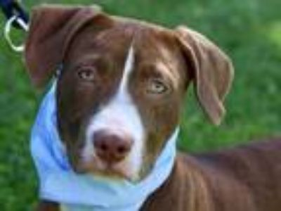 Adopt Joel a Brown/Chocolate Labrador Retriever / Mixed dog in Boulder