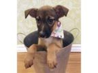 Adopt Mamie a Brown/Chocolate German Shepherd Dog / Labrador Retriever dog in