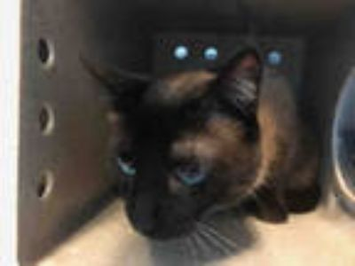 Adopt JIMMY a Brown or Chocolate (Mostly) Siamese / Mixed (short coat) cat in
