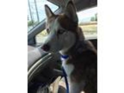 Adopt Ned a White - with Red, Golden, Orange or Chestnut Husky / Mixed dog in