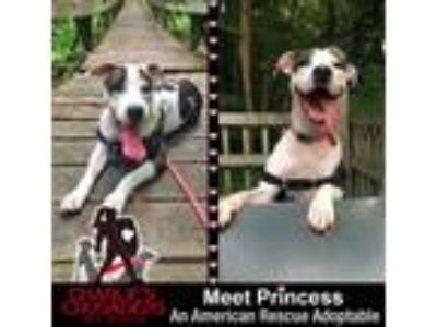 Adopt Princess a Brindle - with White Pit Bull Terrier dog in Norristown
