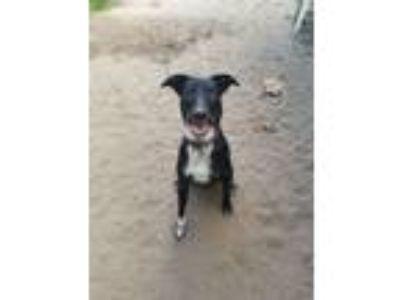 Adopt Millie a Australian Cattle Dog / Blue Heeler