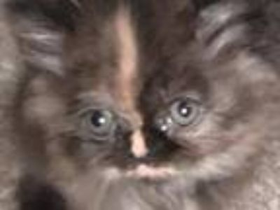 Persian Kittens