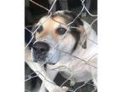 Adopt Misty a Labrador Retriever / Australian Shepherd / Mixed dog in Pembroke