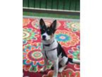 Adopt Peony a Terrier