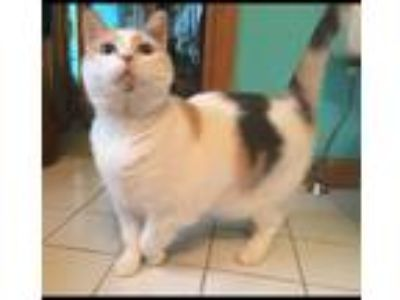 Adopt Lola a Calico or Dilute Calico Domestic Shorthair / Mixed cat in