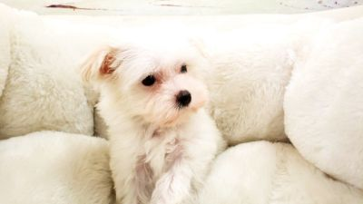 Maltese Puppy - Female - Snowy ($2,300)