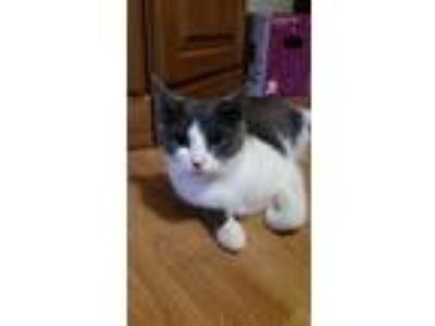 Adopt Little Gray - Courtesy Listing a Domestic Short Hair