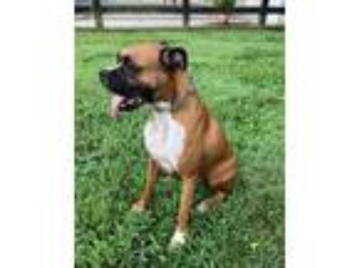 Adopt Brodie a Tan/Yellow/Fawn Boxer / Mixed dog in Brentwood, TN (25941146)