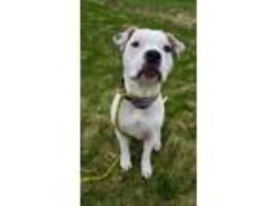Adopt Stella a White - with Brown or Chocolate Boxer / Pit Bull Terrier / Mixed