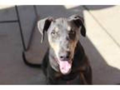 Adopt a Gray/Blue/Silver/Salt & Pepper Doberman Pinscher / Mixed dog in Modesto