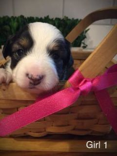 Australian Shepherd PUPPY FOR SALE ADN-80520 - Toy Mini Austrailian Shepherd
