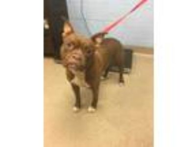 Adopt Piper a Brown/Chocolate Mixed Breed (Large) / Mixed dog in Chamblee