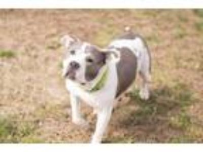Adopt Leah a White - with Gray or Silver Pit Bull Terrier / Mixed dog in