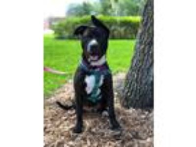 Adopt Stella a Black - with White Labrador Retriever dog in Deltona