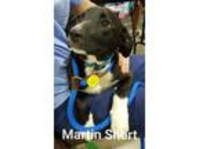 Adopt Martin Short a Black Border Collie / Mixed dog in Normal, IL (25549263)