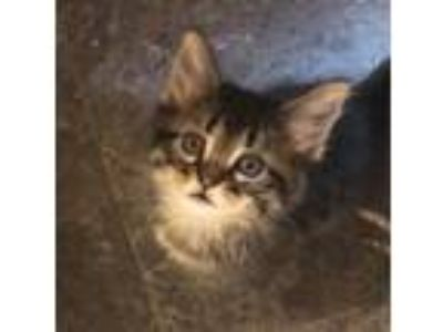 Adopt Quincy Jr a Maine Coon, Domestic Long Hair
