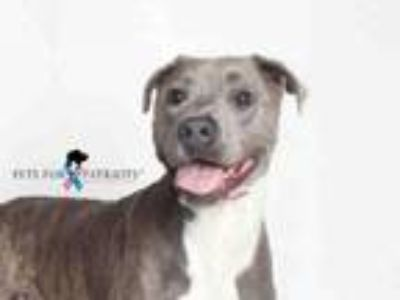 Adopt PAC MAN a Pit Bull Terrier, Mixed Breed