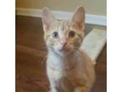 Adopt Mango a Orange or Red Domestic Shorthair cat in Pendleton, NY (25560020)