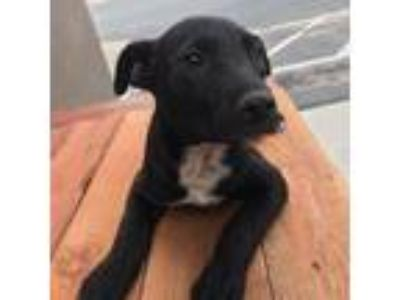 Adopt Mandalay a Black Labrador Retriever
