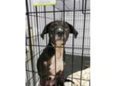 Adopt Chapo a Black Mouth Cur, Labrador Retriever