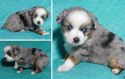 Miniature Australian Shepherd PUPPY FOR SALE ADN-114159 - Toy Aussie Blue Merle Male Joey