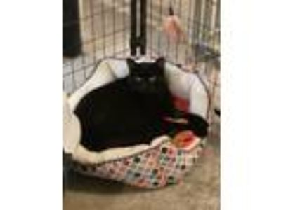 Adopt Mahi a All Black Domestic Shorthair / Mixed cat in Bolton, CT (24306837)