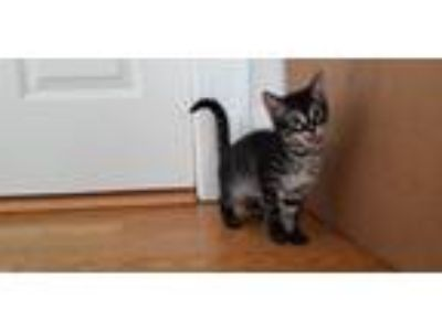 Adopt Snow White Kitten: Lollipop a Domestic Shorthair / Mixed cat in