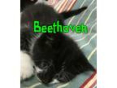 Adopt Beethoven a Domestic Short Hair