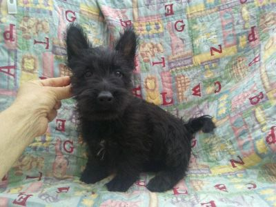 Bobby Male Scottish Terrier