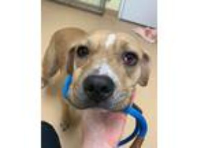 Adopt Cardi a Tan/Yellow/Fawn - with Black Pit Bull Terrier / Mixed dog in Saint