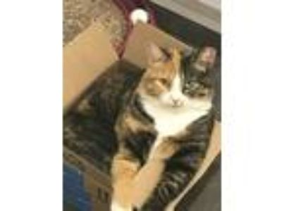 Adopt Haley a Calico, Domestic Short Hair