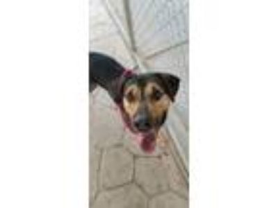 Adopt T-Rex a Rottweiler / Mixed dog in El Paso, TX (25295143)