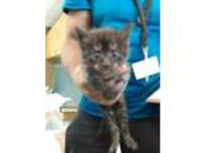 Adopt KITTY 1 a All Black Domestic Shorthair / Domestic Shorthair / Mixed cat in