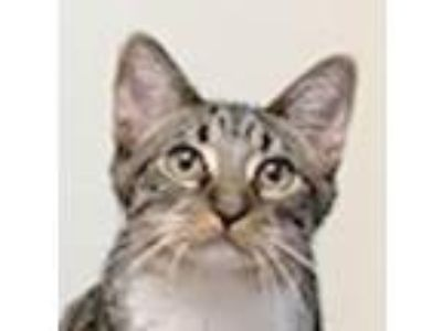 Adopt Poptart a Gray, Blue or Silver Tabby Domestic Shorthair / Mixed (short