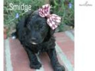 Beautiful Black Female Labradoodle puppy