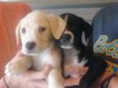 Adopt Baby Lab/Border Girls a Labrador Retriever, Border Collie