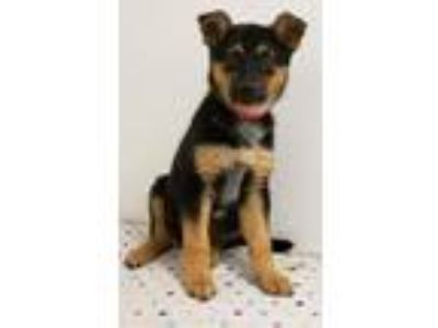Adopt Nick a Shepherd, Australian Cattle Dog / Blue Heeler
