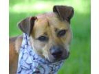 Adopt Peanut a Tan/Yellow/Fawn American Pit Bull Terrier / Mixed dog in