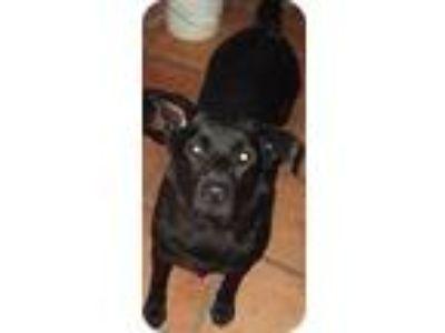 Adopt Debbie Reynolds a Black Labrador Retriever / Chow Chow / Mixed dog in Key