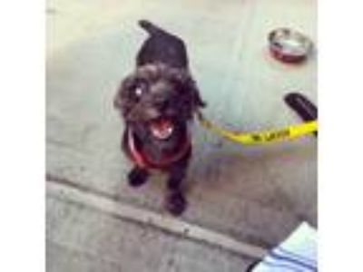 Adopt Bissell a Black Poodle (Miniature) / Mixed Breed (Small) / Mixed dog in