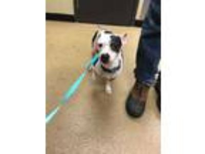 Adopt Lizzy a White Jack Russell Terrier / Mixed dog in Corvallis, OR (24892647)