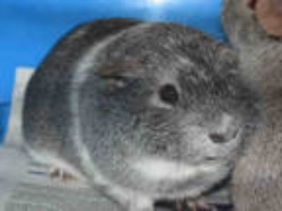 Adopt BEANS a Silver or Gray Guinea Pig / Mixed small animal in Westminster