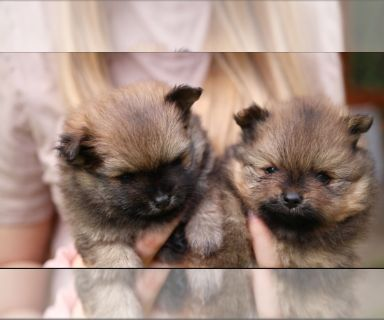 Pomeranian PUPPY FOR SALE ADN-131467 - AKC CHAMPION BLOODLINE BABY FACE POMERANIANS