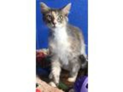 Adopt ALEXA a Gray or Blue Domestic Longhair / Domestic Shorthair / Mixed cat in