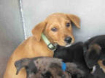 Adopt a Brown/Chocolate - with Tan Labrador Retriever / Mixed dog in San