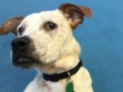 Adopt Freckles a Labrador Retriever, Cattle Dog