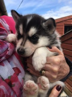 AKC Siberian Husky puppies for adotion