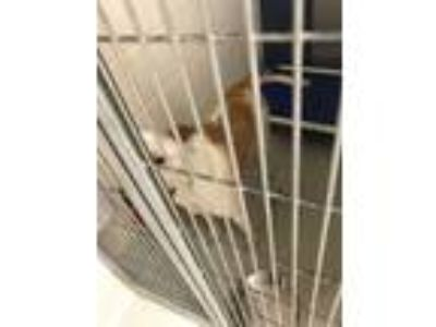 Adopt Rocky a White American Pit Bull Terrier / Mixed dog in Irving